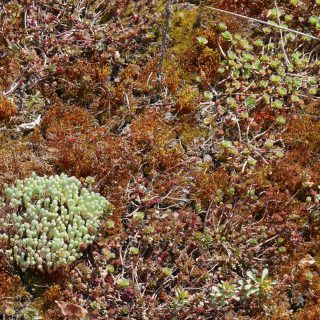 SEDUM TOITURE VEGETALISEE