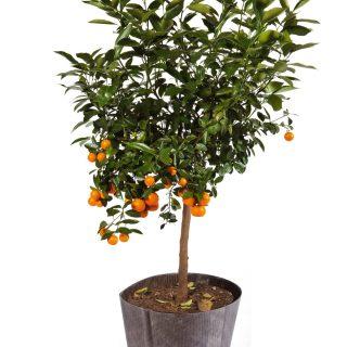 Citrus madurensis